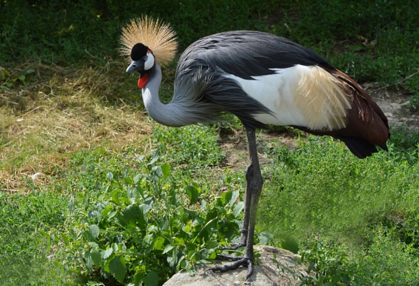 Crowned Crane by MikeRC