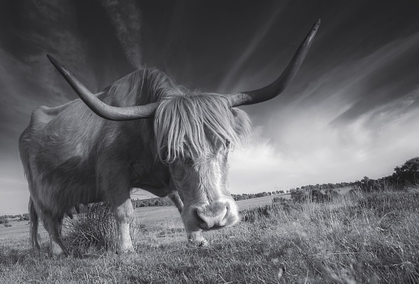 Highland Cow by Pete