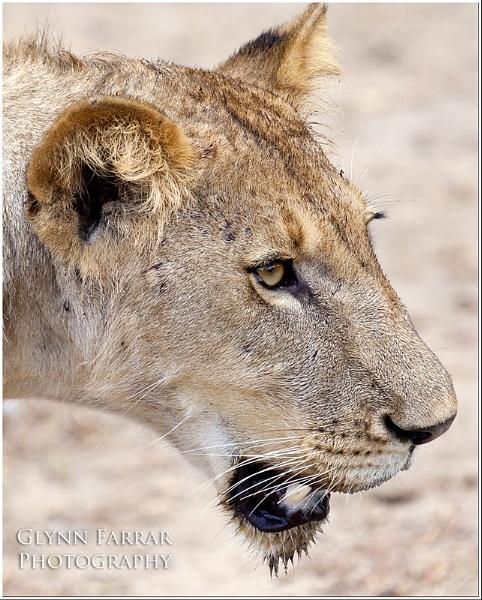 Lioness by Camaro