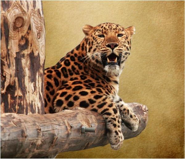 Amur Leopard 1 by iancatch