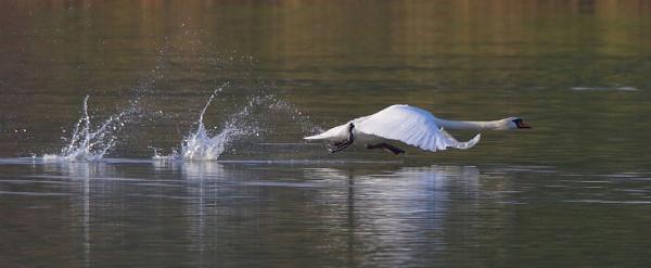 Swan takeoff by NeilSchofield