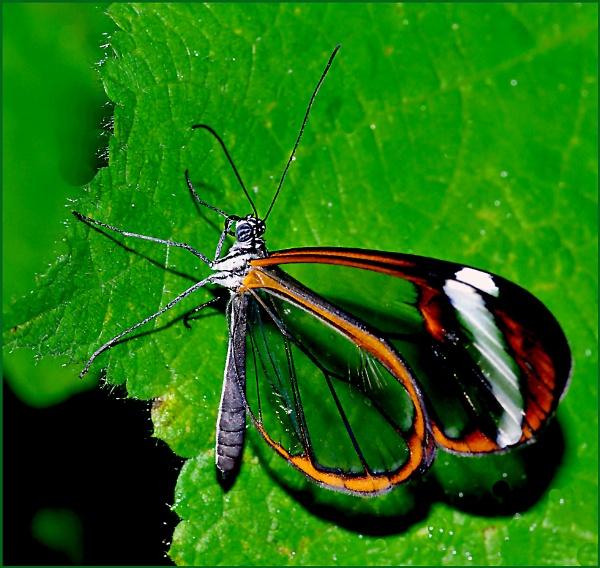 Glasswing Butterfly-Greta Oto. by Badgerfred