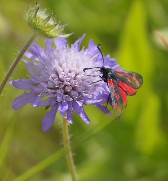 Six-spot Burnet Moth by frankkingman