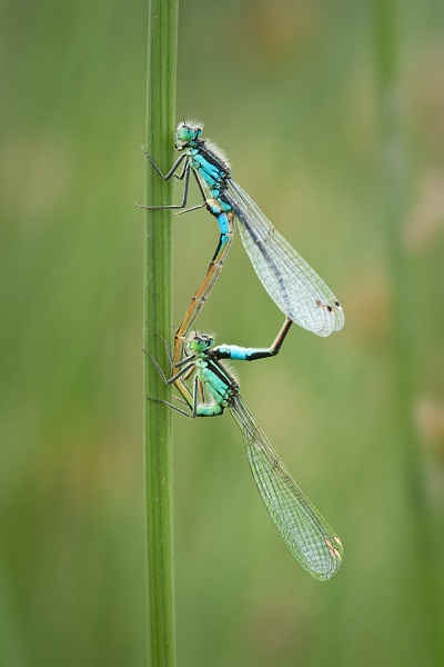 Mating Blue Damselflies by Valerie1