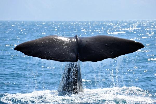 Whale tail at Kiakoura, New Zealand. by peterthowe