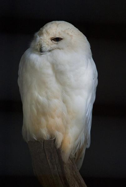 Snowy Owl in the Dark by editfmah