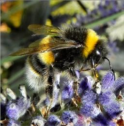 Bumblebee Macro. Nikon P100. DSCN9324