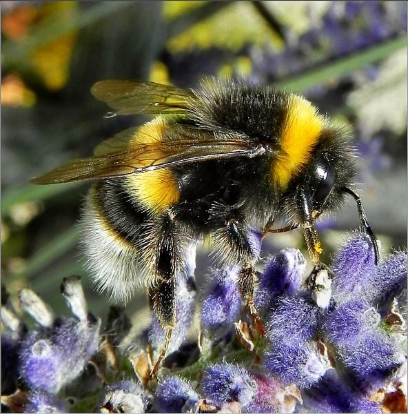 Bumblebee Macro. Nikon P100. DSCN9324 by rpba18205