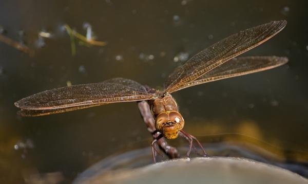 Dragonfly at Saltforsford Lake by woodlandlad