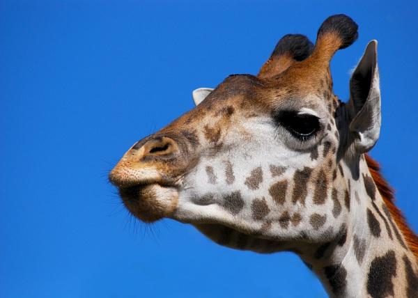 Giraffe by Dimagery