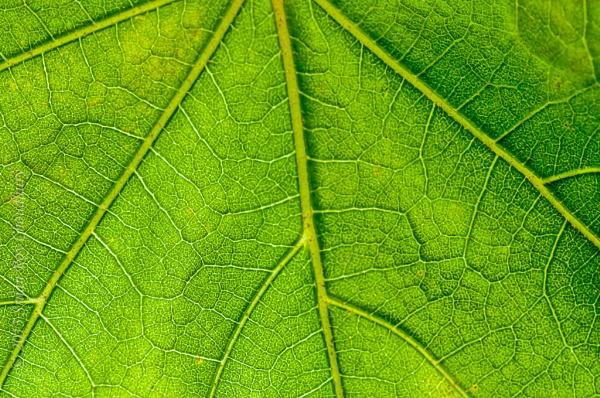 Leaf pattern, green, veins, backlit, nature, fresh close up, mac by Alokchitri