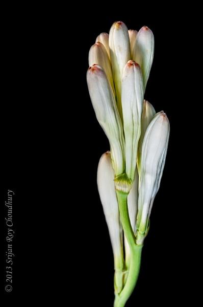 Close up White Tube rose flower isolated on black background by Alokchitri