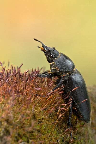 Stag Beetle by ChloeFT