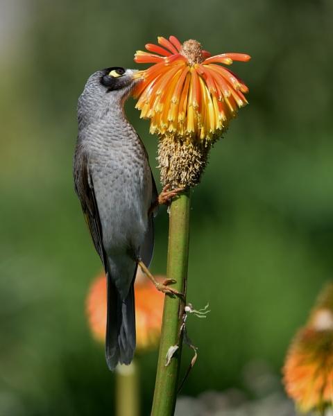 Noisy Miner Bird by Ayoob