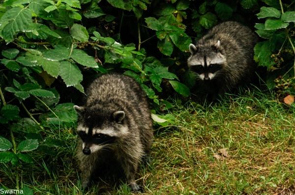 Raccoons by Swarnadip