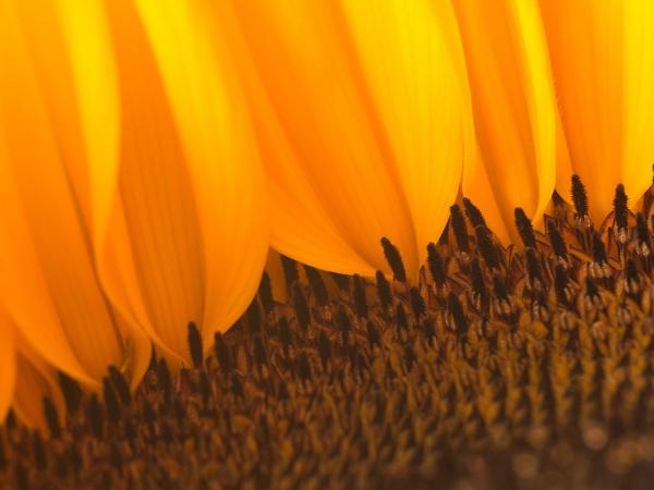 Sunflower2 by cmiller