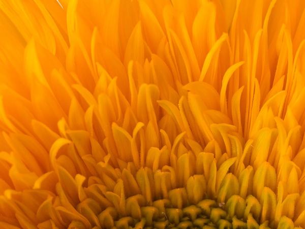 Sunflower petals by cmiller