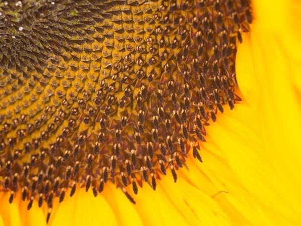 Sunflower3 by cmiller