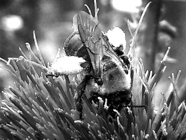 Simple Noir Bee by shutterbug8156