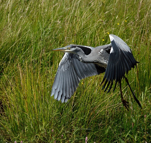 Heron Take Off by anglingandyq