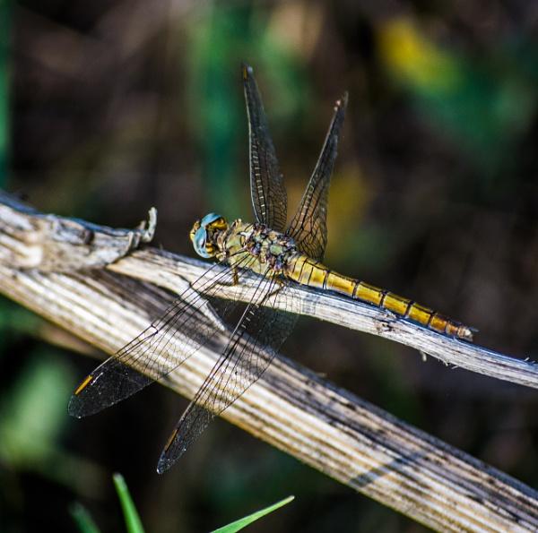 Dragonfly 4 by derrymaine