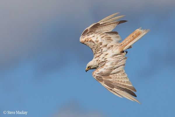Leucistic Red Kite by SteveMackay