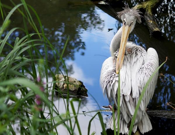 Pelican at Twycross Zoo by Raamir