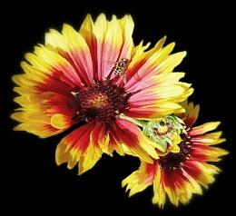 Gaillardia aristata 'Fancy Wheeler' (Blanket Flower) and Hover