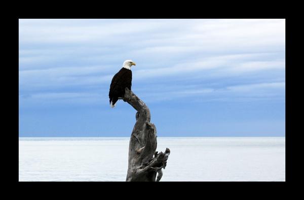 Bald Eagle by katep1