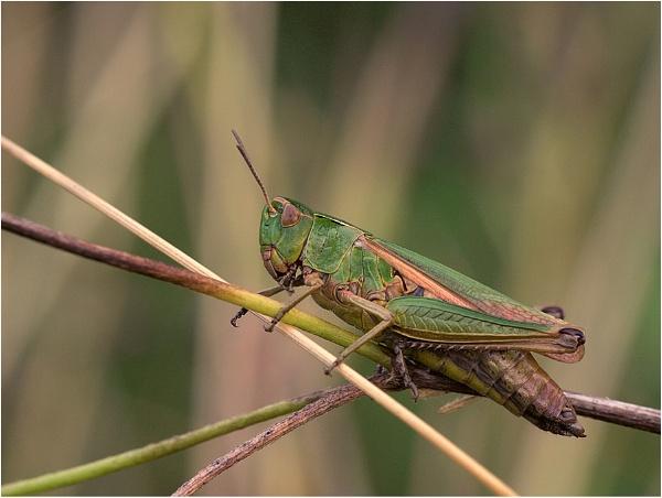 Grasshopper by ringyneck