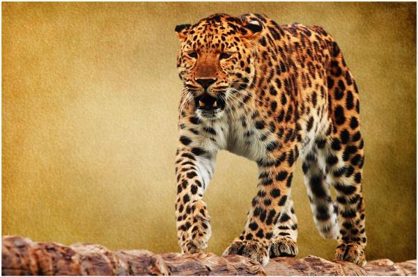 Amur Leopard 2 by iancatch