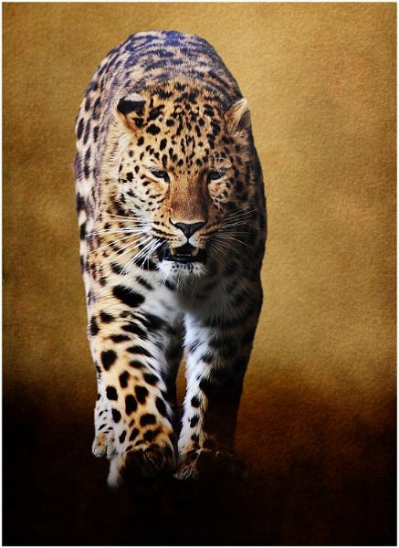 Amur Leopard 3 by iancatch