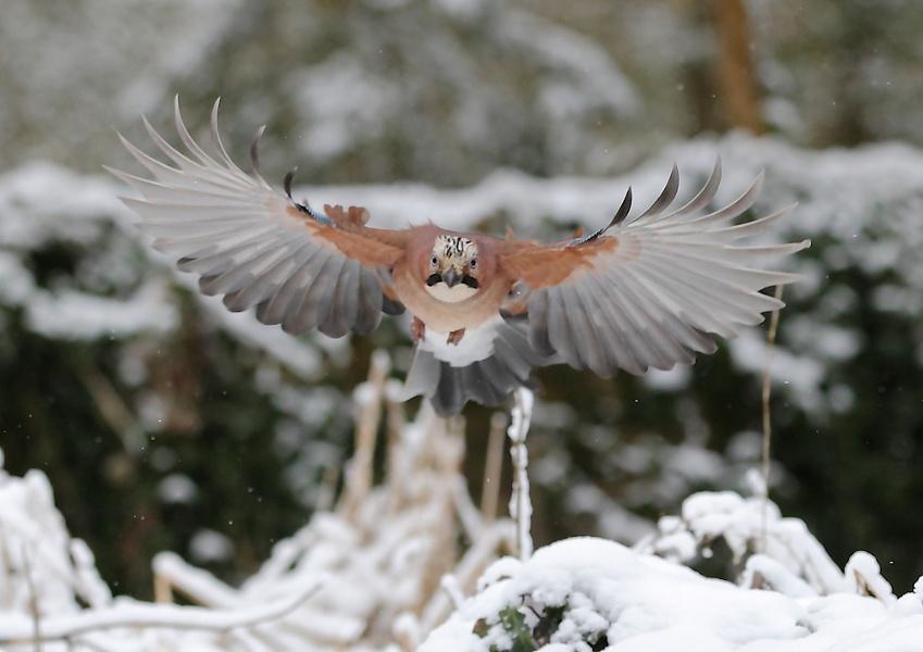 Jay in Winter