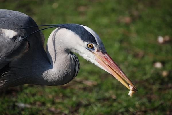 Heron by stevebidmead