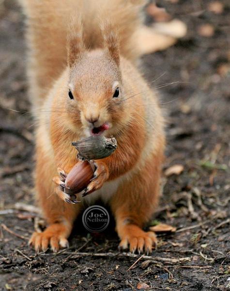 Red Squirrel by jocneilson
