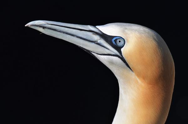 Gannet up close by Mike_Reid