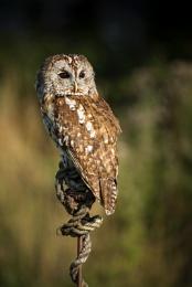 Tawny Owl BOC