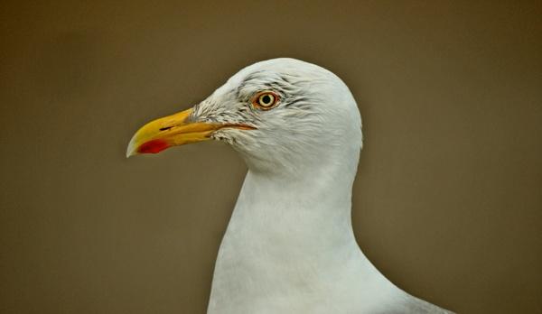 seagull by stu8