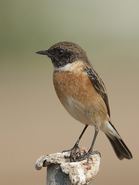 Male Siberian stonechat by ajdh