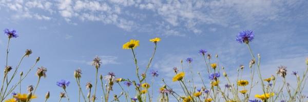 wild flowers by Dugs