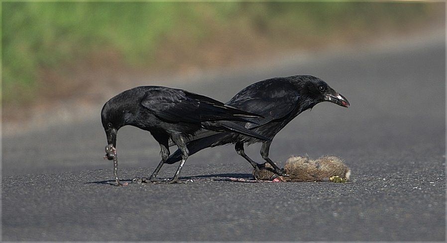 Carrion Crows with Road Kill