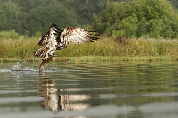 Rothiemurchus Osprey by Pricegrah