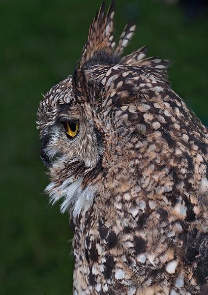 Long-eared Owl by CaroleS