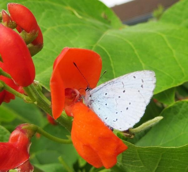 light blue butterfly by Margaret101