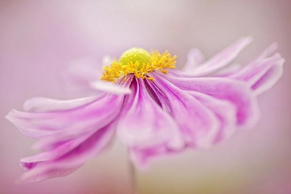 Anemone x hybrida \'Pretty Lady Emily\' by jackyp