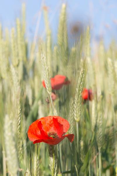 Poppy by livinglevels