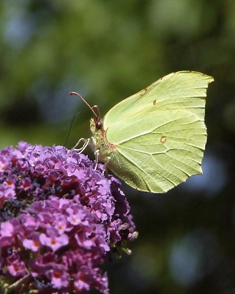 Brimstone Butterfly 3