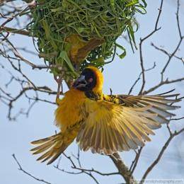 African Black Headed Weaver birds part 2