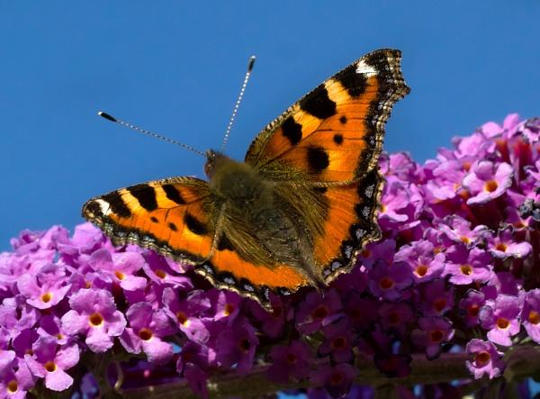 Tortoiseshell Butterfly by siduck68