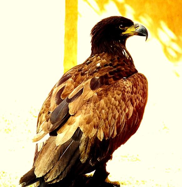 HAWK..... by crissyb